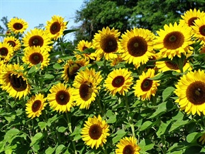 Sunflowers ecard