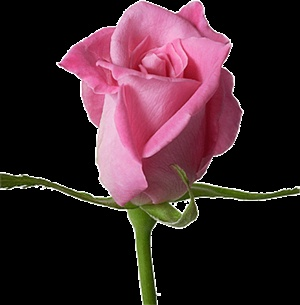 If A Rose Can Peak A Thousand  Words.. ecard