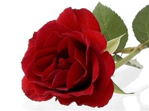 One Rose ecard