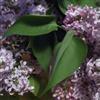 Lilacs eCard