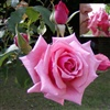 to a beautiful rosa
