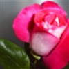 Gorgeous Rose from Bulgaria eCard