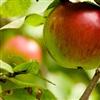 An apple everyday