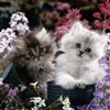 WILL YOU BE MY KITTEN