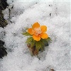 The first flower of spring, and it appeared for yo
