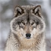 The Timber Wolf eCard