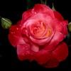 A delicate rose eCard