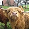 highland cattle eCard