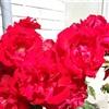 Roses eCard