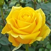 A Yellow Rose For You x