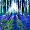 Forest Of Bluebells