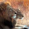 Simba Love