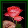 A beautiful rose for a beautiful lady eCard