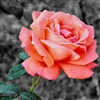 A rose to say