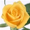 rose beautiful rose